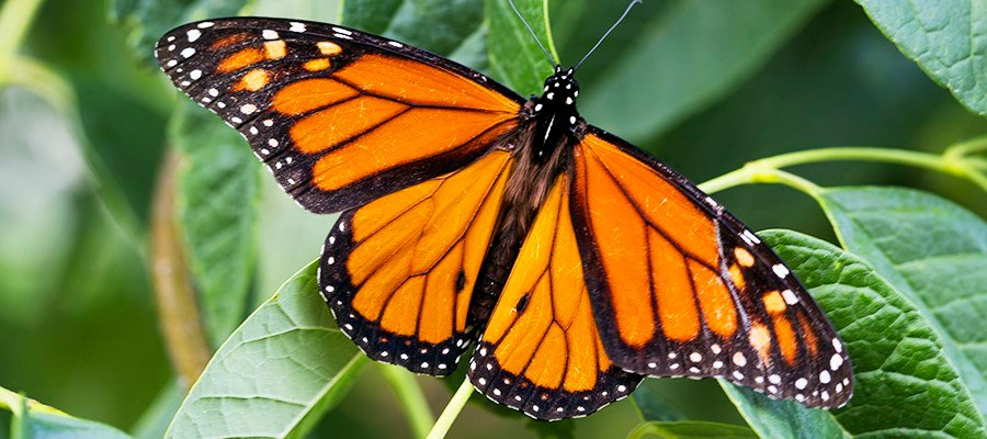 Game and Parks to give away free milkweed seeds in Norfolk